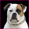 Rosie Baby - Our American Bulldog is 2 yrs old!